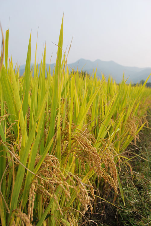 20081112_rice