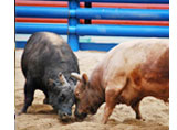 destinations-bull