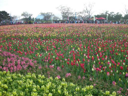 20090508_tulips